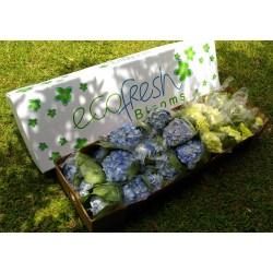 Fresh Green and Light Blue Hydrangeas