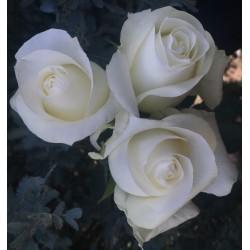 Long Stem White Roses (stem length 23 in / 60 cm)