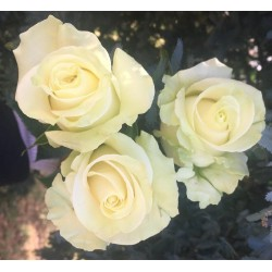Long Stem White Roses (stem length 23 in / 60 cm)