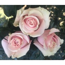 Long Stem Pale Pink Roses (stem length 23 in / 60 cm)
