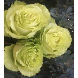 Long stem Green Lemonade Roses (stem length 23 in / 60 cm)