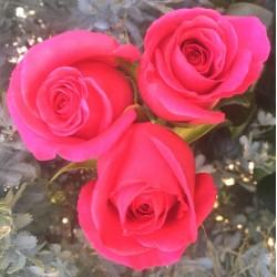 Long stem Pink Floyd Roses (stem length 23 in / 60 cm)