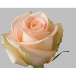 48 Long stem Tiffany Roses (stem length 23 in / 60 cm)