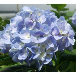 Light Blue Hydrangeas - Extra