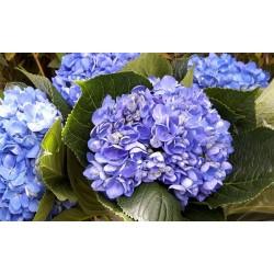 Deep Blue Hydrangea - Extra