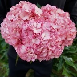 Hot Pink Hydrangeas - Extra