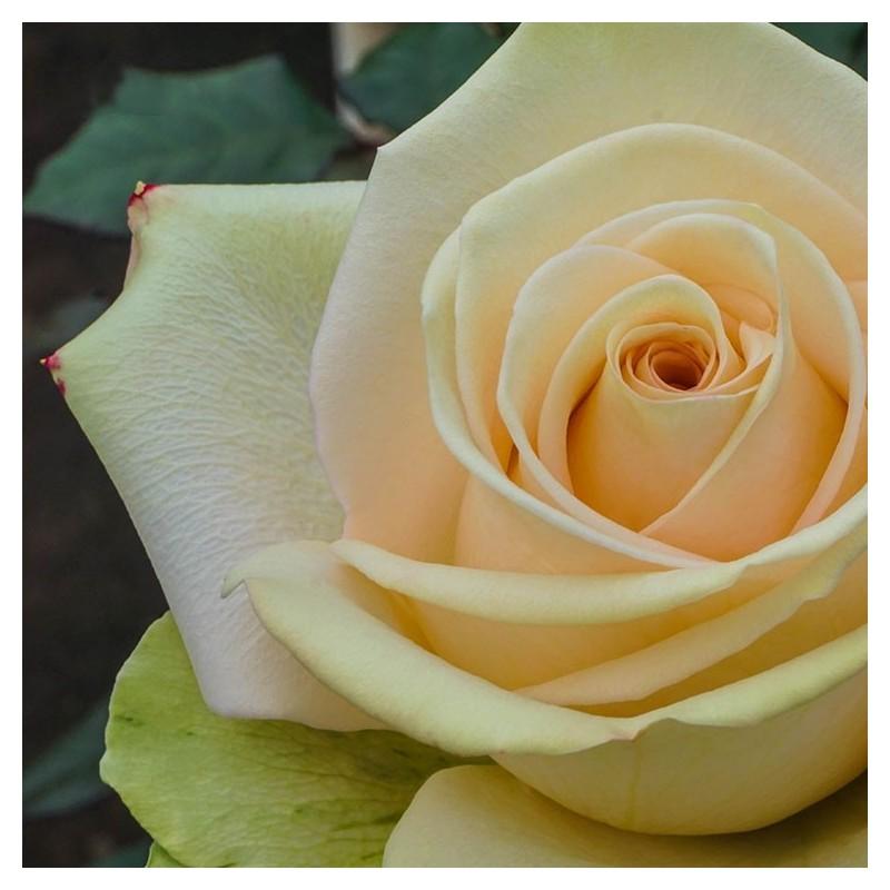 Long stem peach roses in a box