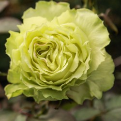 Long-stem green roses