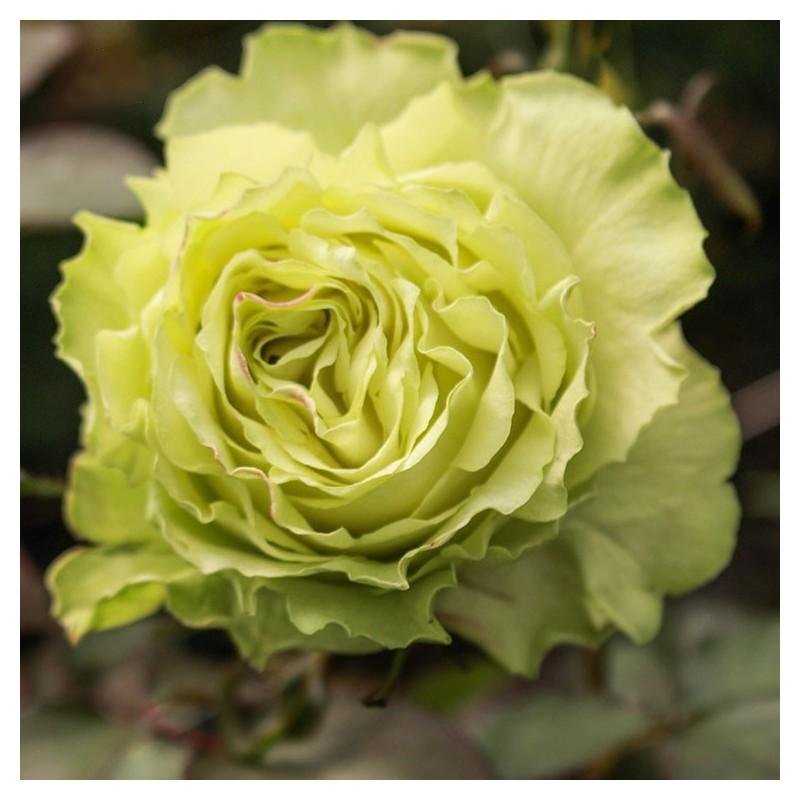 Long-stem green roses