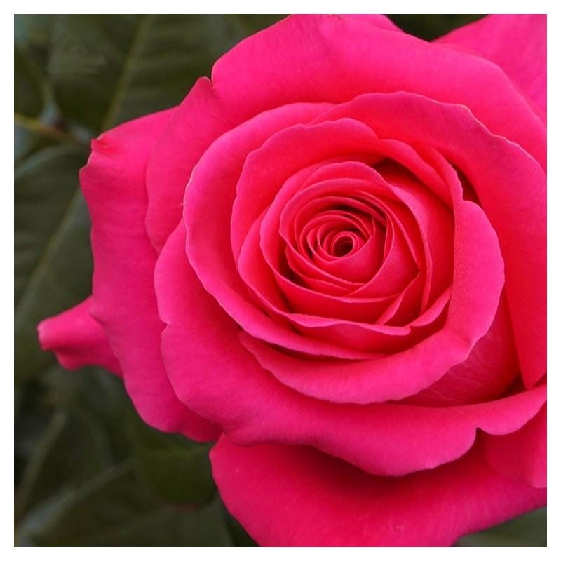 Long stem hot pink roses