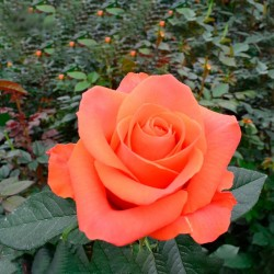 Long Stem Orange Roses...