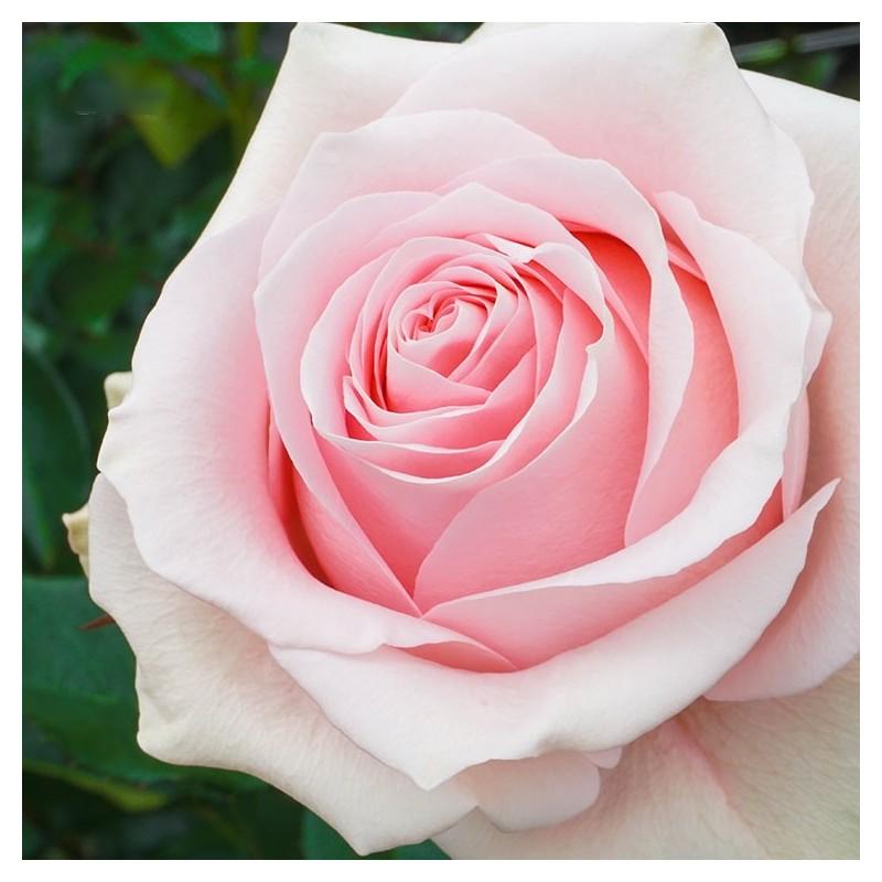 Long stem blush roses in a box