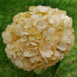 Peach Hydrangeas - Extra