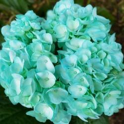 Turquoise Hydrangeas - Extra