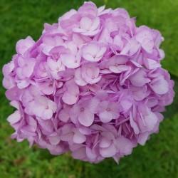 20 Lavender Hydrangeas - Extra