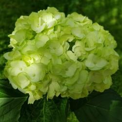 Fresh Green Hydrangeas - Extra