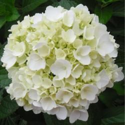 20 White Hydrangeas - Extra