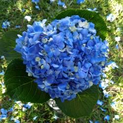 16 Deep Blue Hydrangeas -...