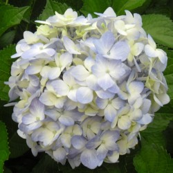 16 Light Blue Hydrangeas -...