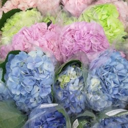 20 Mixed Fresh Hydrangeas