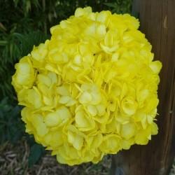 Yellow Hydrangeas - Extra