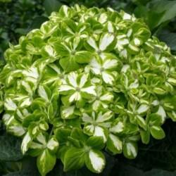 16 Green Emerald Hydrangeas