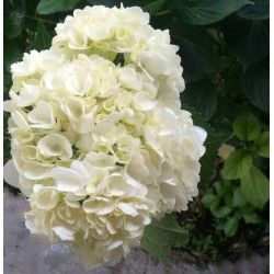 24 White Hydrangeas - Select