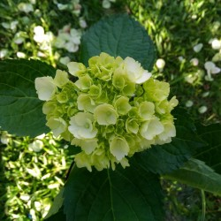 36 Mini Green Hydrangeas -...