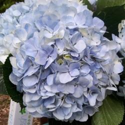 14 Light Blue Hydrangeas -...