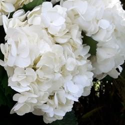 14 White Hydrangeas - Premium