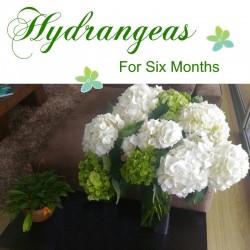 Hydrangeas for 6 months