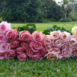 Long Stem Pink Roses for Valentine's Day