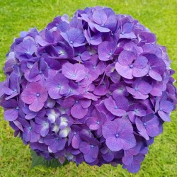 Purple Premium Hydrangeas