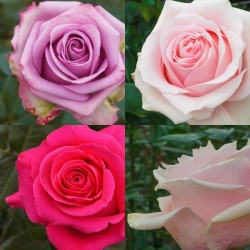 Roses in Assorted Colors