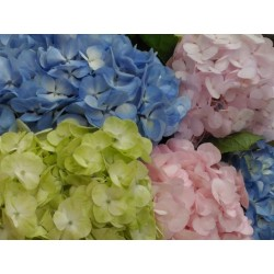 Mixed Fresh Hydrangeas