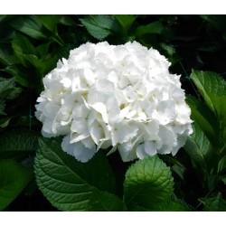 White Hydrangea - Premium