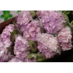 Hydrangea Lavender - Extra