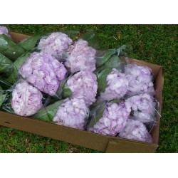 Hydrangea Light Purple - Extra