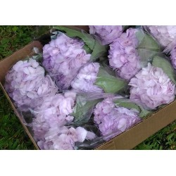 Hydrangea Light Purple - Extra