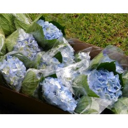 Light Blue Hydrangeas - Extra