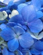 Fresh Hydrangeas in Bulk - Wholesale for Weddings and Special Events