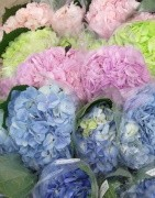Mix Fresh Cut Hydrangeas in different colors in a box